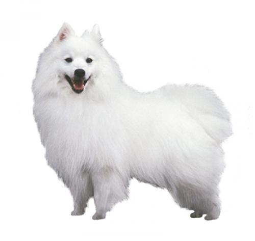 Información sobre la raza de perro Spitz japonés | Purina ®